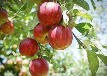 How Are Crab Apple Trees Different From Normal Apple Trees?