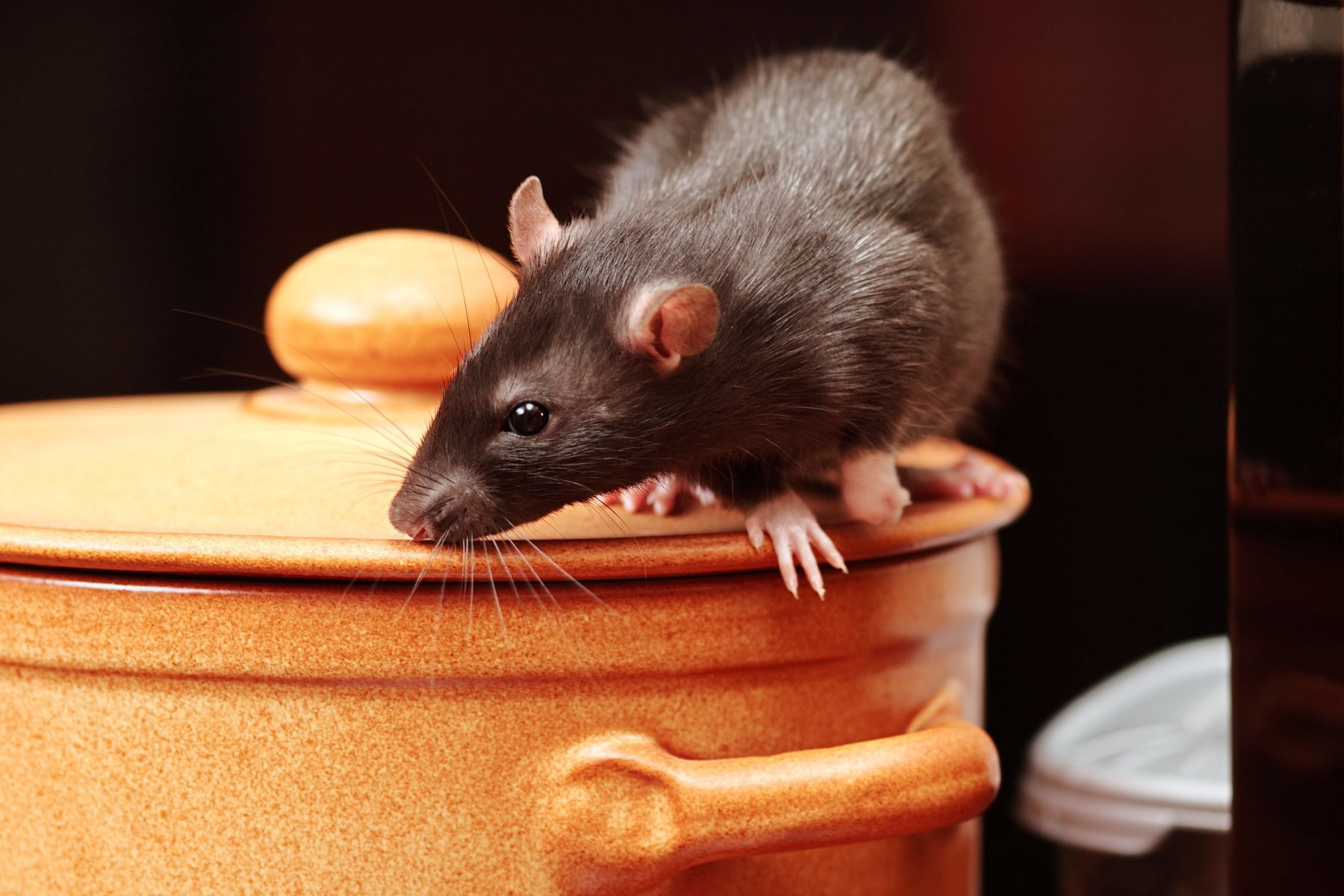 What Are The Major Advantages Of Hiring Possum Removal Services?